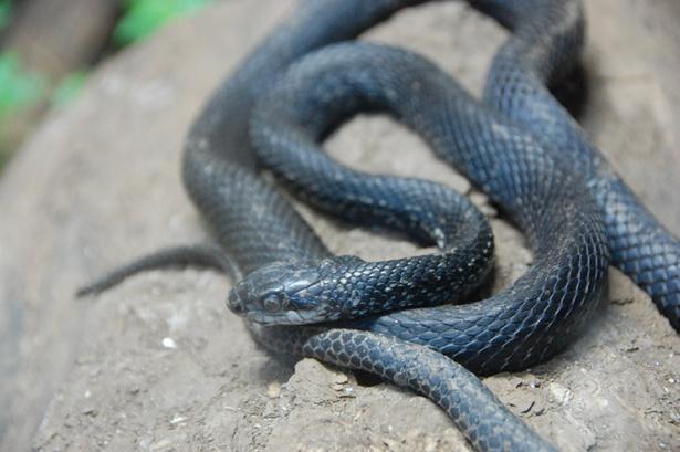 旭山動物園/全身が真っ黒のシマヘビ(カラスヘビ)