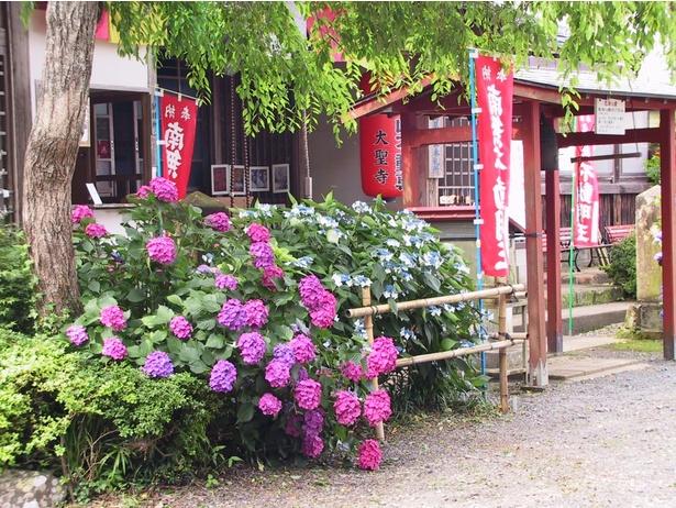 境内に彩り良く咲き誇るアジサイ。鉢植えでキレイにレイアウトされたものも