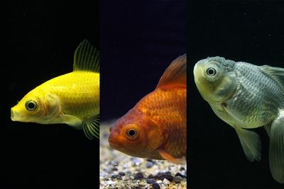 【写真を見る】すみだ水族館で金魚約1000匹を集めた夏まつりが開催!