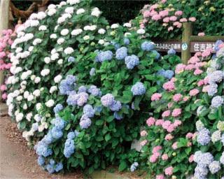 【九州のアジサイ名所】有明海の絶景が広がる!熊本県「住吉自然公園」を囲む初夏の花風景