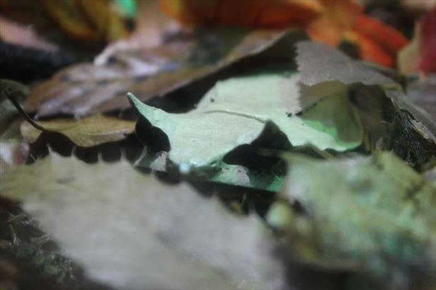 枯れ葉に擬態するミツヅノコノハガエル。角度による見え方の違いを楽しめる