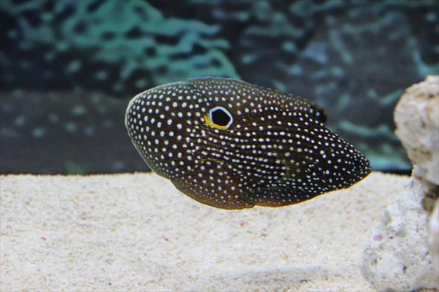 丸い目玉のような斑紋でウツボに擬態するシモフリタナバウオ