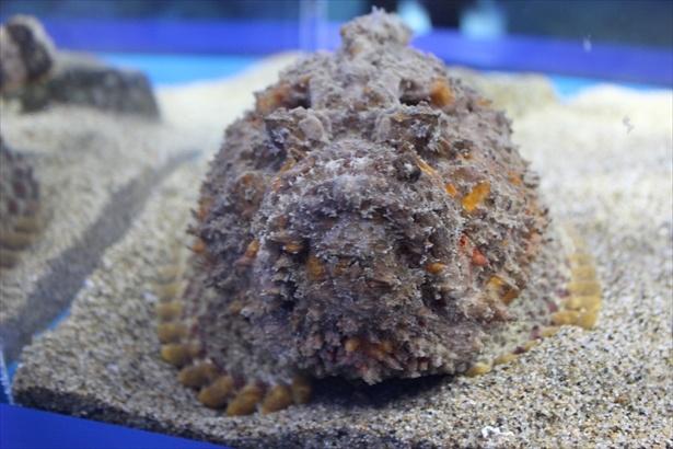 騙しの海コーナーに展示されるオニダルマオコゼ
