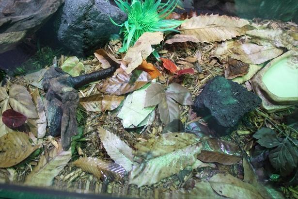 この展示の中にミツヅノコノハガエルが擬態している