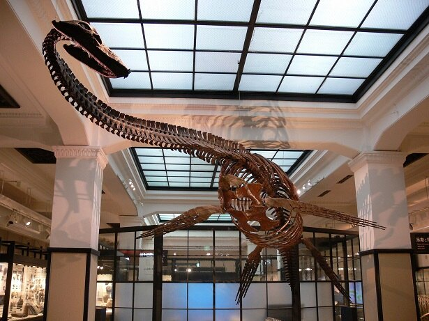 日本館「日本列島の生い立ち」にて展示している、フタバスズキリュウの復元全身骨格