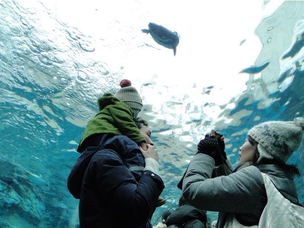 旭山動物園/「開園前の動物園ひとりじめ」ぺんぎん館のようす