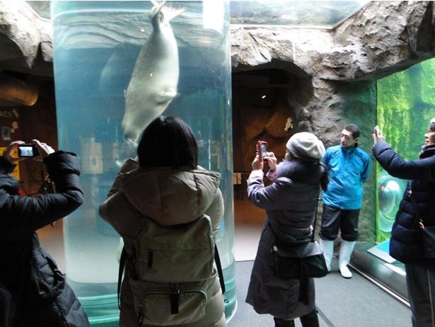 旭山動物園/「開園前の動物園ひとりじめ」あざらし館のようす