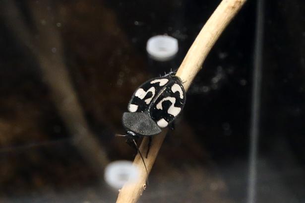 Gの部屋には生きたゴキブリを3種類展示されている。写真はハテナゴキブリという種で、意外とかわいらしい?