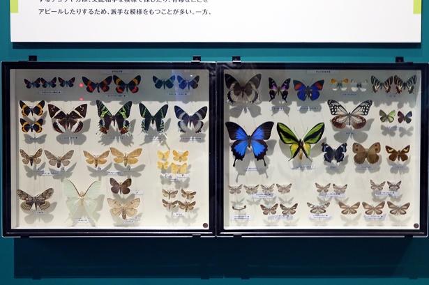 昆虫の魅力に多角的に迫る特別展「昆虫」。昆虫好きにたまらない、一見の価値あるラインナップが揃う