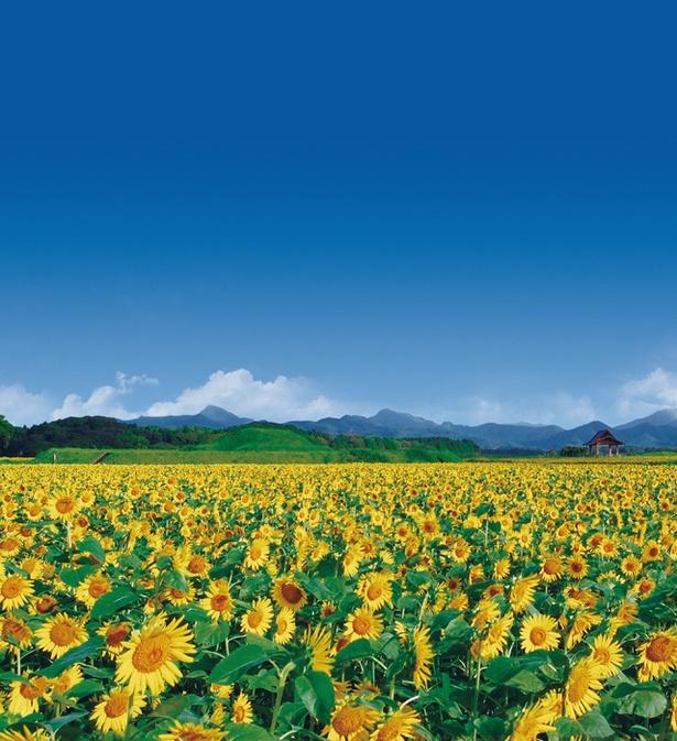 西都原古墳群 / 古墳群に咲き誇る美しいヒマワリ