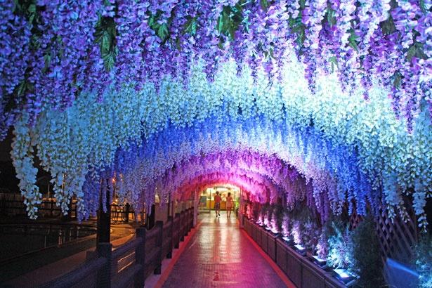 頭上を覆いつくす、美しい藤のトンネルにうっとり!長さも十分にあり、見ごたえたっぷり