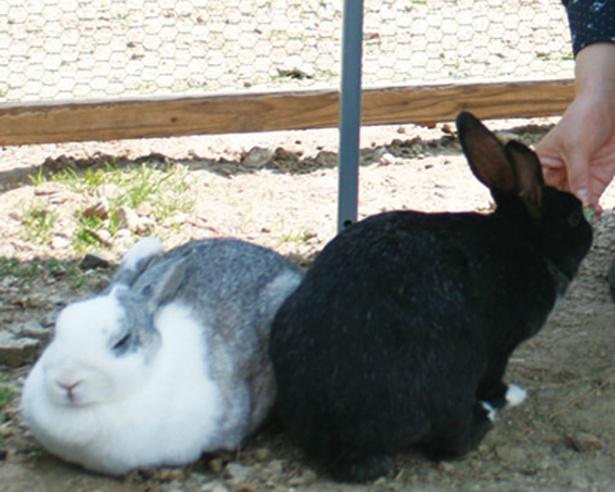 かわいらしく跳ね回る様子に癒されると大人気のウサギ。人にとても慣れていて、手からエサを食べる姿も愛らしい(旭高原元気村)