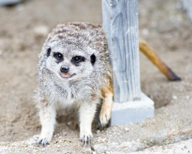 地下に巣穴を掘り、家族で暮らしているミーアキャット。日光浴をする時には、立った姿が見られることもあるので見逃せない!(岡崎市東公園動物園)