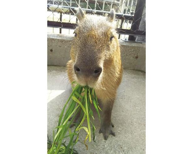 2017年より展示をスタートした、体長1m以上にもなる大型のネズミの仲間・カピバラのもみじ。穏やかな顔つきに癒される(岡崎市東公園動物園)