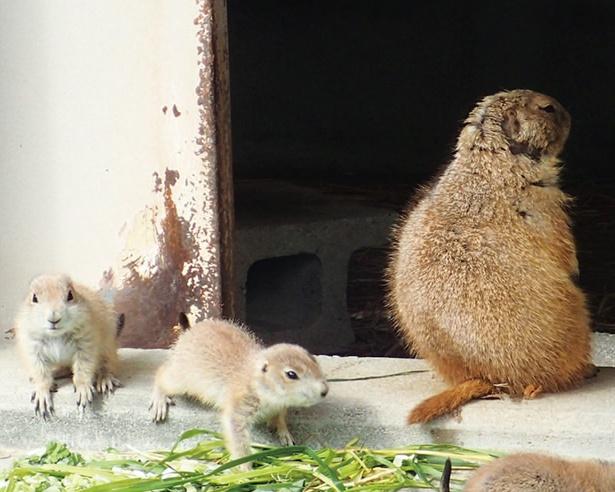 プレリードッグのルッコラ(右)と赤ちゃん