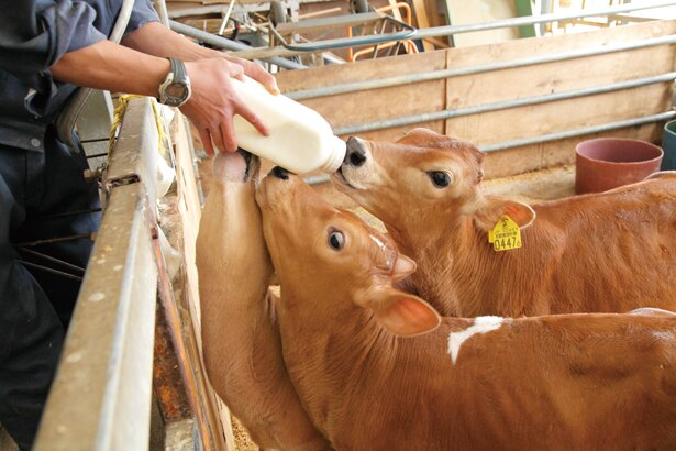 【写真を見る】1回の食事で、2lもの牛乳を数分で飲み干す!?子ウシたちの食事風景