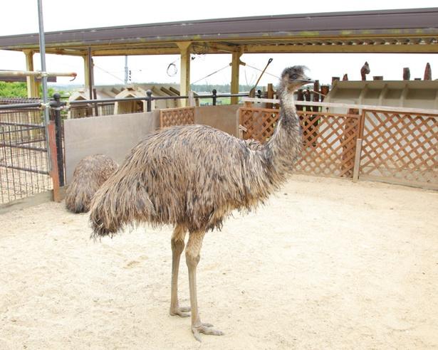 オーストラリアに生息する、体長1.6〜2mにもなる世界で2番目に背が高い鳥・エミュー。意外とおとなしく人懐っこい性格だ