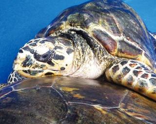 子ウシやウミガメに癒される!三重県の無料動物スポット