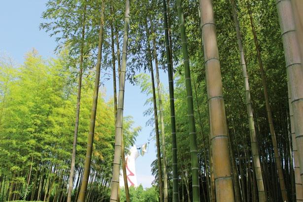 梅林の中の風情ある竹林/万博記念公園