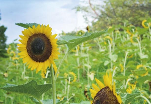 太陽の塔の後ろ側と花畑を一緒に撮影できる人気スポット/万博記念公園