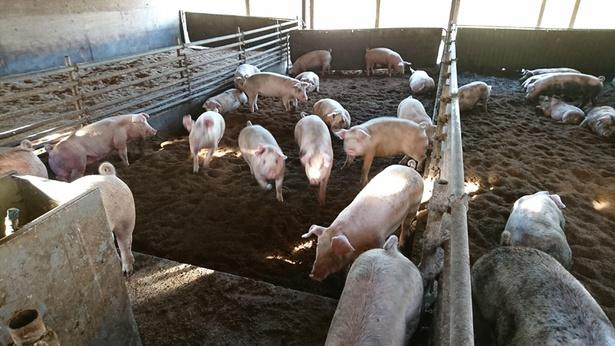 「夢民豚」は豚舎で自由に動き回れるのでストレスなく育つ