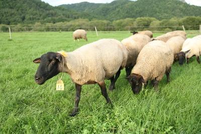 800頭以上がのびのびと過ごす「茶路めん羊牧場」