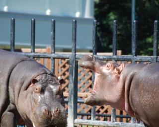 旭山動物園/屋外プールで過ごす、オスの百吉