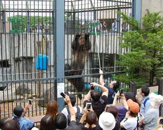 旭山動物園/もうじゅう館で展示されているエゾヒグマの「とんこ」