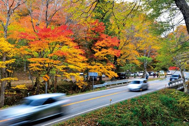 沿道に広葉樹が多くルート内で標高差があるため、比較的長い期間にわたって色付いた木々を楽しめる