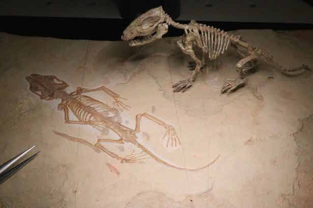 哺乳類3億年の歴史をひも解く!群馬県立自然史博物館で「化石動物園 ...