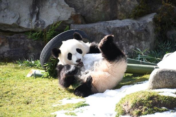 愛くるしい5頭のパンダが人気/アドベンチャーワールド