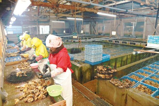 佐藤養殖場で育てられたカキのみ「的矢かき」を名乗れる