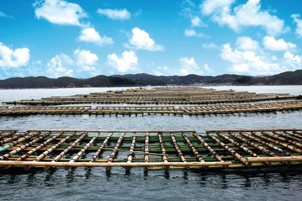 鳥羽市など三重県の市町村で養殖が盛ん