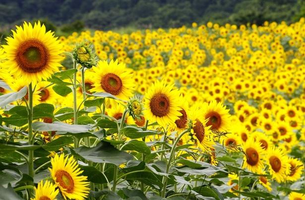 【写真を見る】圧巻の広さを誇る畑に咲くひまわり