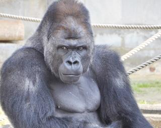 イケメンゴリラの家がリニューアル!双子の赤ちゃんチンパンジーにも会える東山動植物園