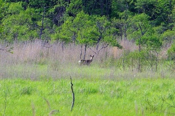 ガイドとともに湿原の中へ入ると、茂みの奥でこちらの様子をうかがうエゾシカを発見
