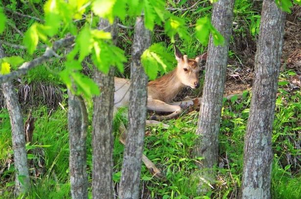 木陰で昼寝をしていたエゾシカを発見。遠くから静かに観察