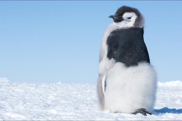 モフモフボディの赤ちゃんペンギンが悩殺級の可愛さ!
