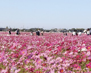 三光コスモス園 / 3000万本のコスモスが咲き誇りそのスケールは圧巻