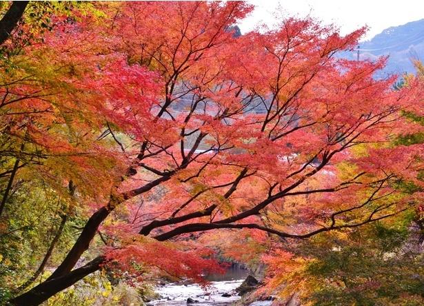 紅葉と富士山のコントラストも楽しめるもみじロード