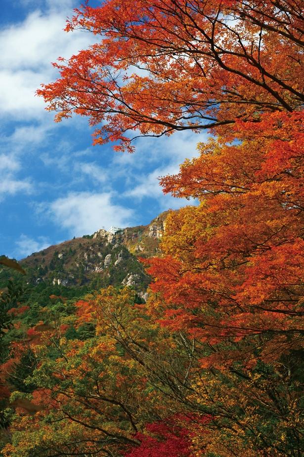 1日約50mずつ、約1か月かけて紅葉する。運がよければ特別天然記念物のニホンカモシカが見られることも