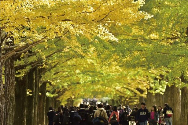 【写真を見る】360度黄色に彩られる、国営昭和記念公園のイチョウ並木(写真は「うんどう広場」横のイチョウ並木)