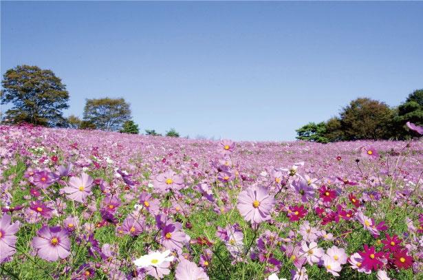 国営昭和記念公園にある、花の丘。秋になると約2万2800平方メートルの広大な敷地の3カ所の花畑に、約550万本のコスモスが咲く。丘の上では立川駅方面を一望することができる