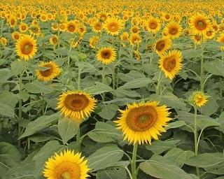 猛暑でげんなりした心と身体を癒したい!8月まだ間に合う首都圏お花畑イベント