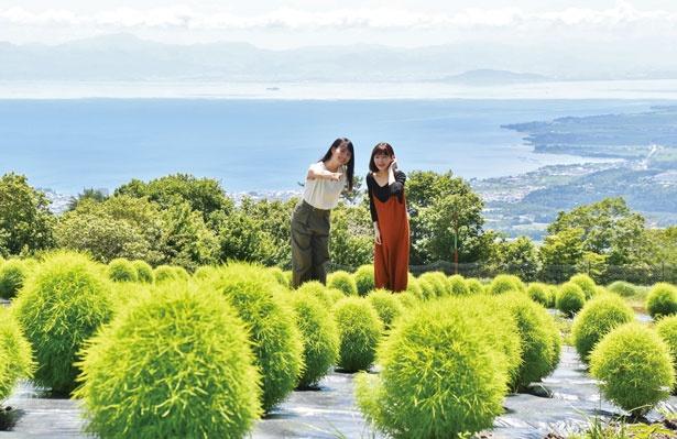 【写真をみる)】琵琶湖を見下ろす場内に約2000本のコキアを栽培/箱館山コキアパーク