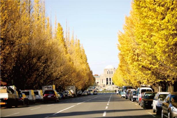 明治神宮外苑は、イチョウのトンネルが美しい都内屈指の黄葉スポット。歩道にはイチョウの落ち葉が敷き詰められ、黄色いじゅうたんができる