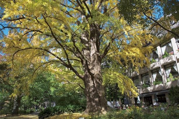 見事な黄葉を見せる、日比谷公園の首賭けイチョウ。幹周り6.5m、樹高20m、樹齢は推定400年を誇る