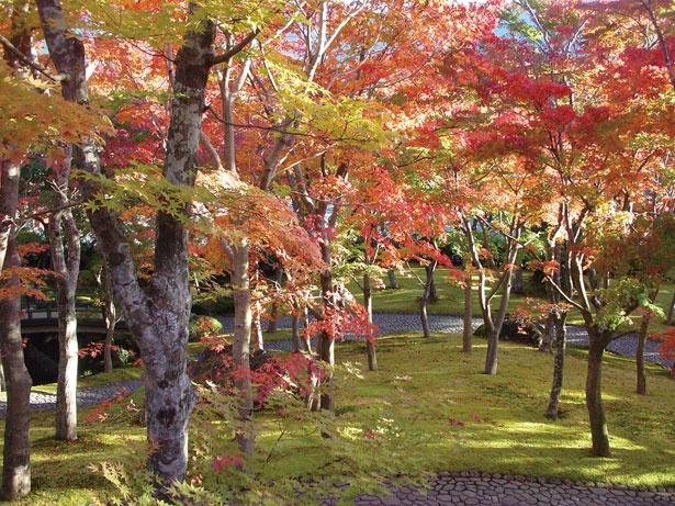 【写真を見る】箱根美術館の苔庭の奥には茶室があり、紅葉を眺めながら抹茶を味わえる(700円)