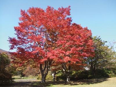 箱根で紅葉狩りをするなら箱根レイクホテルがおすすめ。美しく染まったイロハモミジは、隣接する湖尻園地にある