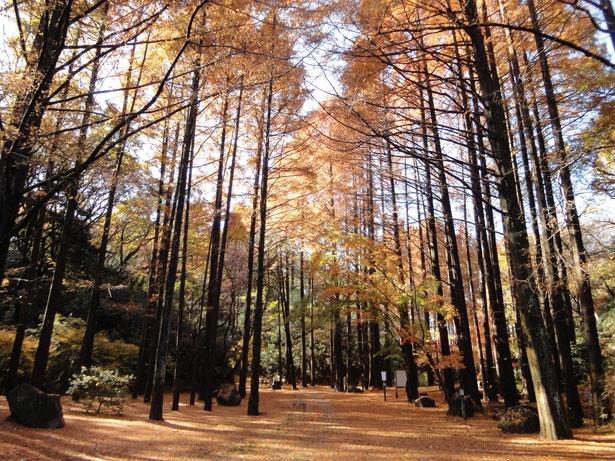 紅葉と黄葉が折り重なり美しいコントラストを作る、生田緑地。30mもの高い木々が立ち並ぶメタセコイア林の黄葉は、幻想的な雰囲気だ